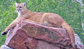 universit de montr al journal forum 12 f vrier 2007 des cougars sud am ricains dans nos. Black Bedroom Furniture Sets. Home Design Ideas